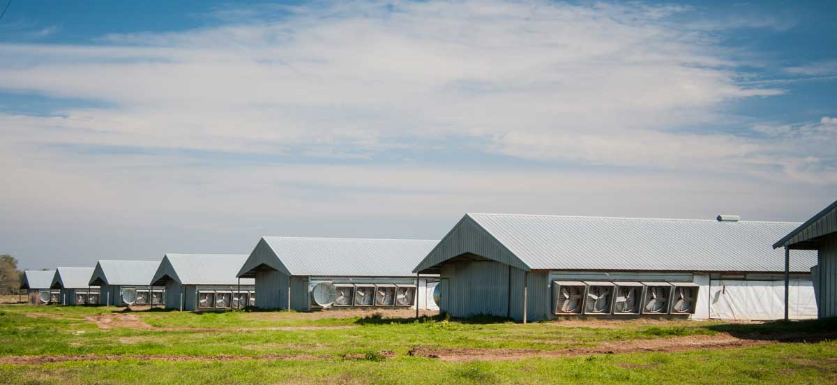 Modern poultry barns