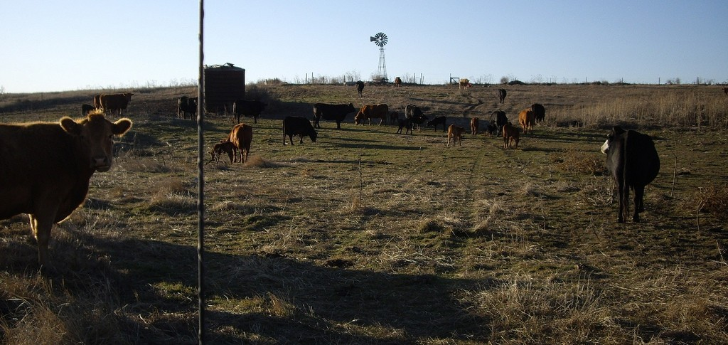 Cattle in Gove, Kansas